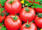tomatoes from own vegetable garden with simple vegetable garden design