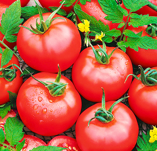 tomatoes-from-own-vegetable-garden-with-simple-vegetable-garden-design