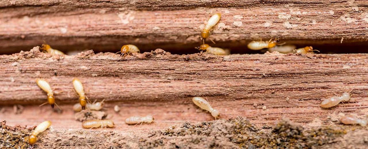 Prevent Termites: Best Way How to Get Rid of Termites in House with Properly